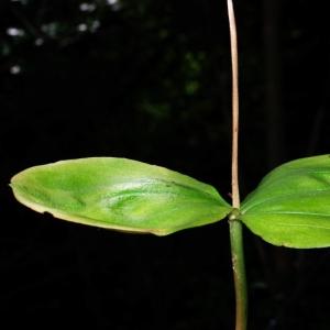 Photographie n°16060 du taxon Listera ovata (L.) R.Br. [1813]
