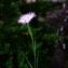 Daniel Mathieu - Dianthus monspessulanus L. [1759]
