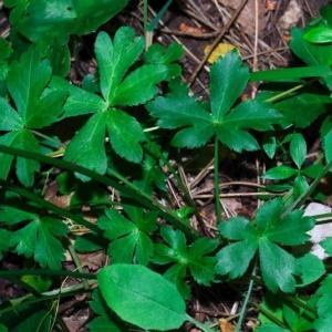 Photographie n°16089 du taxon Sanicula europaea L.