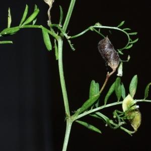 Photographie n°16114 du taxon Vicia hirsuta (L.) Gray [1821]