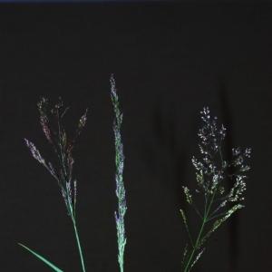 Photographie n°16115 du taxon Agrostis capillaris L.
