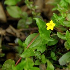 Photographie n°16142 du taxon Lysimachia nemorum L.