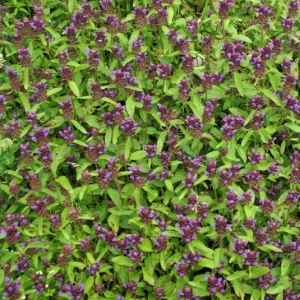 Photographie n°16143 du taxon Prunella vulgaris L.