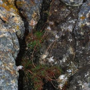 Photographie n°16194 du taxon Armeria maritima Willd.