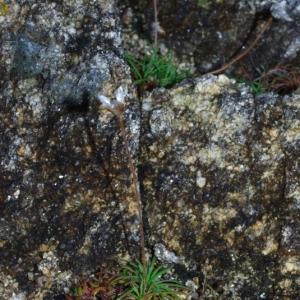 Photographie n°16195 du taxon Armeria maritima Willd.