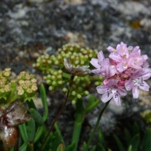 Photographie n°16196 du taxon Armeria maritima Willd.