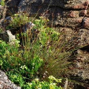 Photographie n°16199 du taxon Carex extensa Gooden.