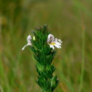Euphrasia tetraquetra (Bréb.) Arrond. [1863] (Euphraise à quatre angles)