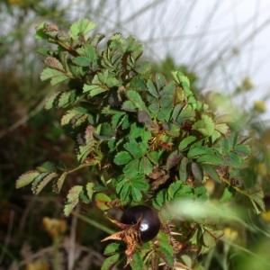 Photographie n°16237 du taxon Rosa pimpinellifolia L. [1759]