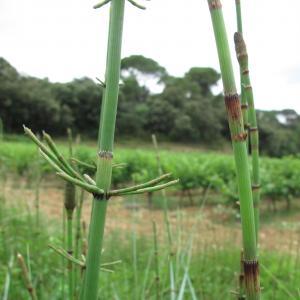 Photographie n°16292 du taxon Equisetum ramosissimum Desf.