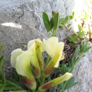 Cytisus polytrichus (image CeL)