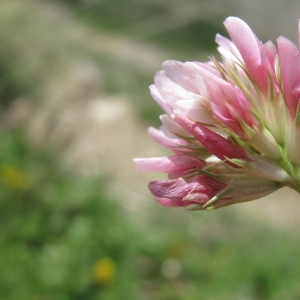 Photographie n°16333 du taxon Trifolium thalii Vill. [1779]