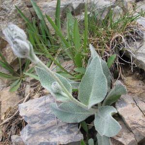 Photographie n°16337 du taxon Hieracium tomentosum L.