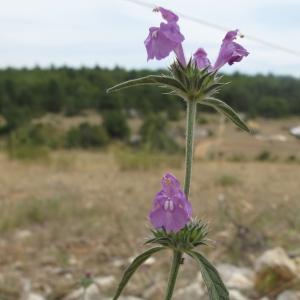 Photographie n°16400 du taxon Galeopsis angustifolia Ehrh. ex Hoffm. [1804]