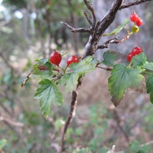 Photographie n°16477 du taxon Ribes alpinum L.
