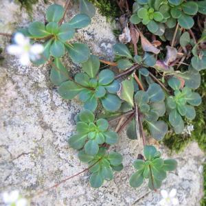 Photographie n°16491 du taxon Saxifraga cuneifolia L.