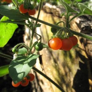 Photographie n°16500 du taxon Solanum villosum Mill.