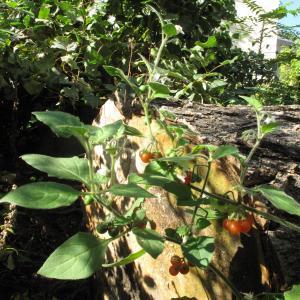 Photographie n°16501 du taxon Solanum villosum Mill.