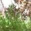 Marie  Portas - Cyclospermum leptophyllum (Pers.) Sprague ex Britton & Wilson [1925]