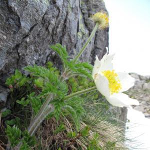 Photographie n°16531 du taxon Pulsatilla alpina (L.) Delarbre