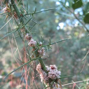 Photographie n°16535 du taxon Cuscuta epithymum (L.) L.