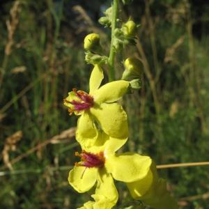 Photographie n°16545 du taxon Verbascum chaixii Vill.