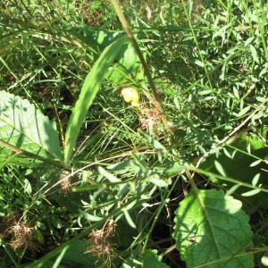 Photographie n°16546 du taxon Verbascum chaixii Vill.