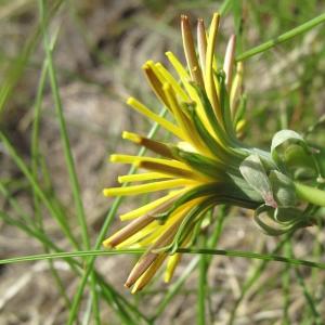 Taraxacum cucullatum Dahlst. (Pissenlit à capuchons)