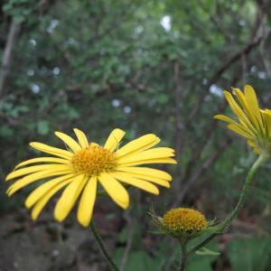 Photographie n°16566 du taxon Doronicum pardalianches L.
