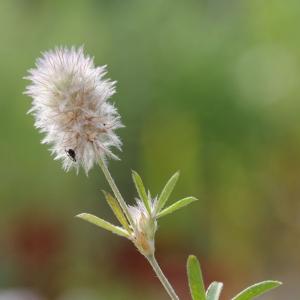 Photographie n°16612 du taxon Trifolium arvense L.