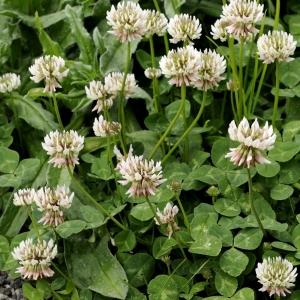 Photographie n°16624 du taxon Trifolium repens L. [1753]