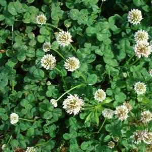 Photographie n°16630 du taxon Trifolium repens L. [1753]
