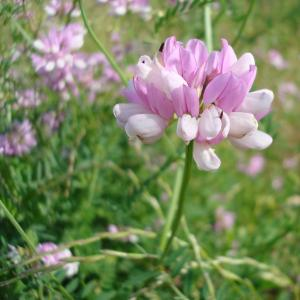 Photographie n°16641 du taxon Securigera varia subsp. varia