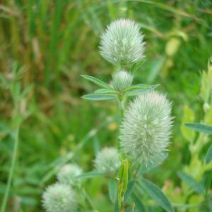 Photographie n°16648 du taxon Trifolium arvense L.