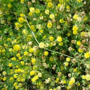 Trifolium patens Schreb. (Trèfle de Paris)