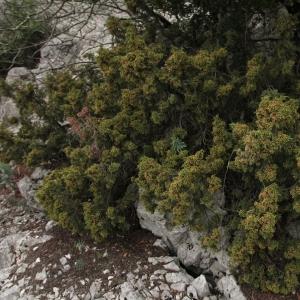 Photographie n°16677 du taxon Juniperus phoenicea L. [1753]