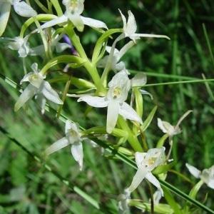 Photographie n°16692 du taxon Platanthera bifolia (L.) Rich.
