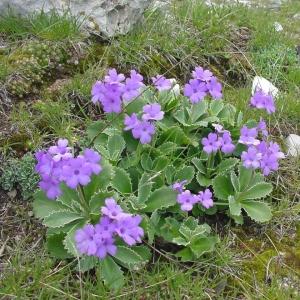 Photographie n°16709 du taxon Primula marginata Curtis