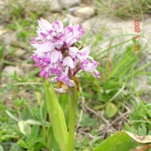 Photographie n°16730 du taxon Orchis militaris L.