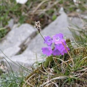Photographie n°16734 du taxon Primula marginata Curtis