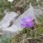 Sébastien RAMSAY - Primula marginata Curtis