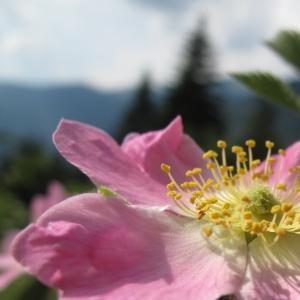 Rosa villosa L. (Églantier velu)