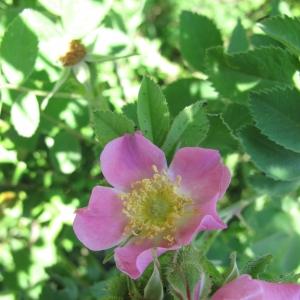 Photographie n°16762 du taxon Rosa villosa L.
