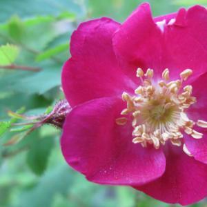 Rosa pendulina L. [1753] (Églantier à fruits pendants)