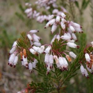 Photographie n°16788 du taxon Erica multiflora L.