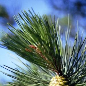 Pinus halepensis Mill. subsp. halepensis (Pin d'Alep)