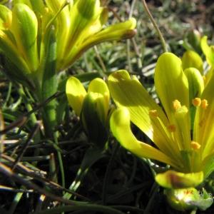 Gagea bohemica subsp. saxatilis (Mert. & W.D.J.Koch) Asch. & Graebn. (Gagée des rochers)