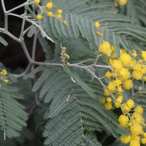 Photographie n°16919 du taxon Acacia decurrens var. dealbata (Link) Maiden [1906]