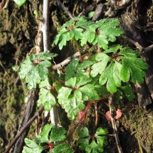 Photographie n°16922 du taxon Geranium robertianum L. [1753]