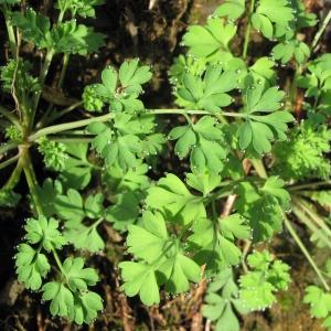 Photographie n°16956 du taxon Fumaria capreolata L.